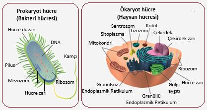 Bitki hücresi basit bir biyolojik bitki sistemidir