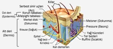 f664cbed1d929 Duyu Organlarının Yapısı ve İşleyişi (Sinir Sistemi-6) Biyoloji Konu ...